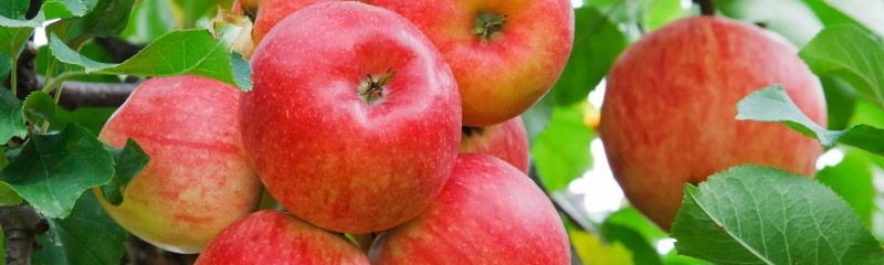 cropped-red-apples-on-tree-11294511627z6e1-800x533.jpg